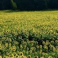 Sonnenblumen liefern den Rohstoff fürs Bioprinting (Foto: Erwin66AS, pixabay.com)